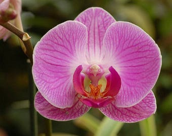 Orchid seeds, phalaeonopsis pink orchid, fuksia orchids, code 515,orchid collection, gardening, flower seeds