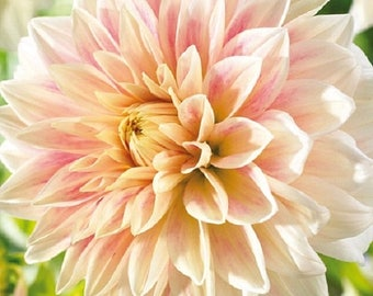 BIG SALE Dahlia Ice, Dinner Plate Dahlia Tubers , Great Cut Flowers,Blooms Summer to fall