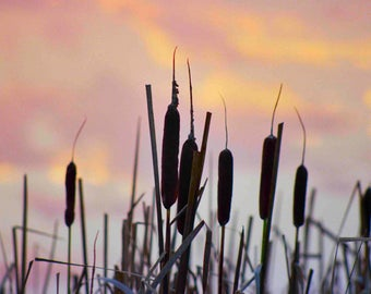 Cattails at Sunset in Marin County, CA