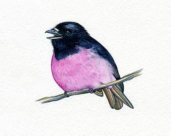 NEW PRINT! Pink breasted robin, Bird, Print of Original Watercolor Painting