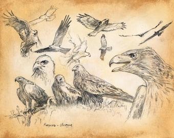 PROOF numbered - Studies of wild animals - birds of prey