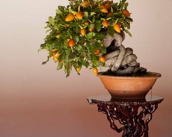 BONSAI - Persimmon
