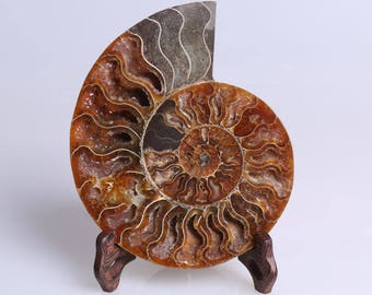 Split Ammonite Fossil Specimen Shell Healing Madagascar,Natural Home Decor+ Free Wenge Stand J509L