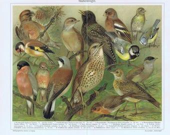 antique prints song birds 1895