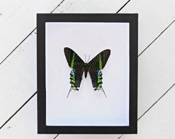 Urania leilus // insect museum box // colorful // metallic