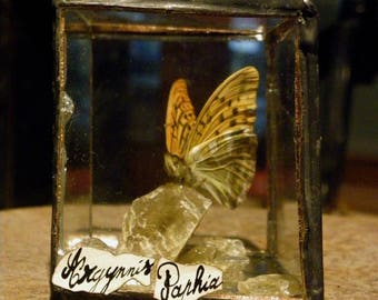 Mini cube with real Butterfly Argynnis Paphia.