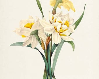 Double Daffodil Flower Art Print, Botanical Art Print, Flower Wall Art, Flower Print, Floral Print, Redoute, yellow, white, Narcissus gouani