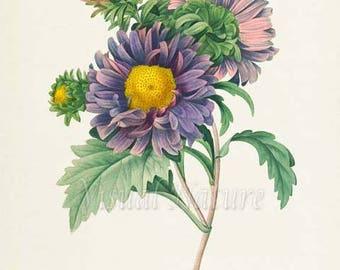 China Aster Flower Print, Flower Art Print, Botanical Print Flower Art, Floral Art, Garden, Redoute, purple, yellow, Aster Chinensis