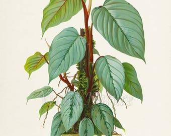 Philodendron Art Print, Botanical Art Print, Philodendron Plant Wall Art, Botanical Print, Home Decor, green art print