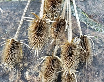 "Dried Teasel, Long-stemmed 20-24"", Dried Wildflowers, Fall Flowers, Dried Flower Bouquet, Flower Potpourri, Dipsacus"