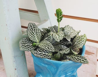 LIMITED! Fittonia White Nerve Plant Cuttings (5)