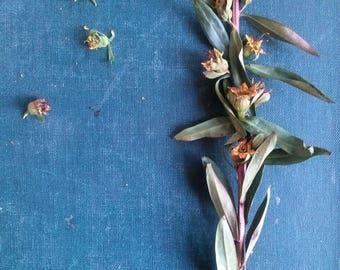 SINICUICHI (100 seeds) -Heimia salicifolia- Sun Opener, Shamanic, Relaxant, Improves Memory, Induces Sleep, Euphoria -