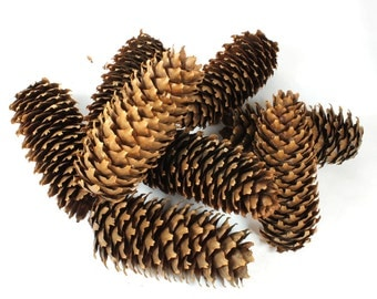 8 Large Pine Cone, Brown Woodland, Pine Cone, Crafts Natural Pine Cones, Christmas Pinecones, Natural Cone Pine, Woodland Forest, Tree, DIY