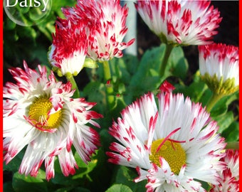 Bellis Perennis White Red Daisy Annual Flowers, 50 seeds, english monstrosa flowers