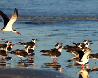 FLOCK OF SKIMMERS On The Beach Of Mustang Island In the Gulf of Mexico.