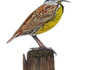 Bird Painting, Bird Art, wildlife art, meadowlark, colored pencil, bird illustration, song bird art, ornithology, bird watching, pen and ink