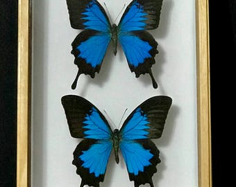 Papilio Ulysses - Real butterfly - collectibles - espécimen -  taxidermia - coleccionable - insects