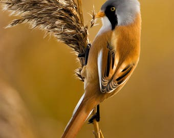 Wildlife Photographic signed mounted A4/A3 Prints of a Bearded Tit