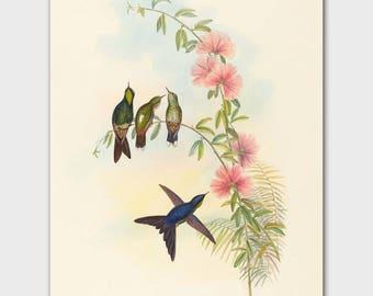 Hummingbird Art Print, John Gould Botanical Bird Print (Natural History Artwork, Cottage Home Decor)
