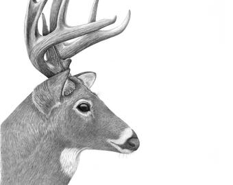White-Tailed Deer Giclee