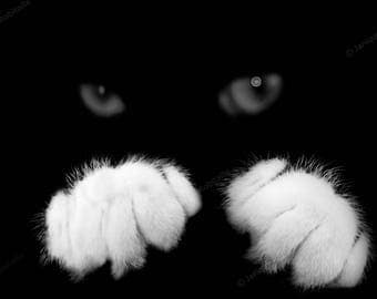 Black cat white paws fine art photograph black and white artistic photo cats eyes home decor wall art  mural decoration kitten