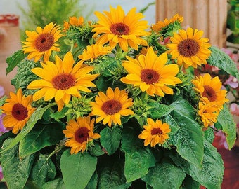 Windowsill Sunflower Garden Kit