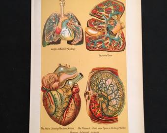 1916 Medical Print - Human Internal Organs, Original Antique Print, Print for Framing, Med Student Gift