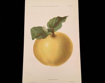 Johnson Quince - Original Antique Print, 1893 Dept. of Agriculture Print, Vintage Kitchen Decor
