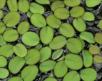 Water Spangles - Salvinia Minima - Floating Live Plants for Aquariums or Ponds US SELLER!