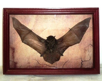 Taxidermy Real Bat in a frame from good wood.