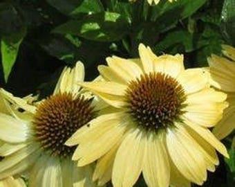 Sandy Yellow Echinacea Purpurea Coneflower  200 seed  pack perennial home garden fragrant flowers