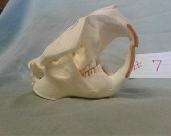 Real Beaver Skull