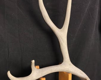 Deer Antler - Large Mule Deer Shed Antler (69 inch), antler, horn, deer horn