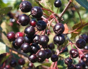 Chokeberry Tree, Live Plant, Edible Fruit, 'Viking' black - Aronia melanocarpa
