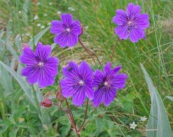 10 Seeds Geranium gymnocaulon Seeds, Alpine Plant Seeds