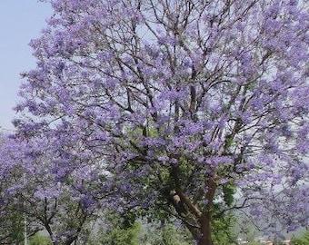 TreesAgain Potted Blue Jacaranda Tree - Jacaranda mimosifolia - 6 to 10+ inches