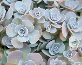 Sedum 'Blue Elf'