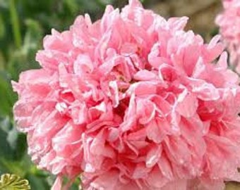 Poppy Seeds, FREE SHIPPING, Pale Rose Peony Poppy Seeds, Rabbit Rescue Donation