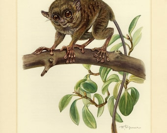 Vintage lithograph of the spectral tarsier from 1956