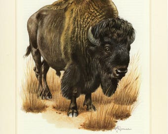 Vintage lithograph of the American bison or buffalo from 1956