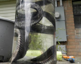 Real Wet Preserved Rat Snake