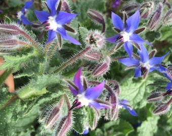 Borage Tincture, organic Borage herb extract