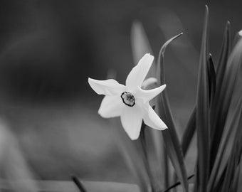 Wild Narcissus, flower, nature, blak, white
