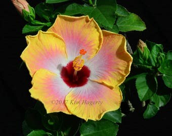 Hibiscus 0684 Multi
