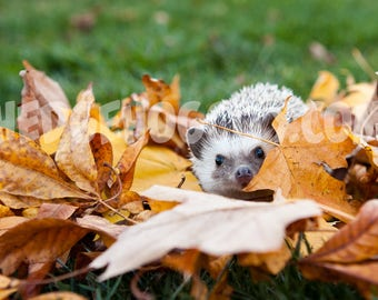 Hedgehog Photo Print - Hedgehog in Leaves Photograph - Hedgehog Photo - Autumn Hedgehog Photograph Print