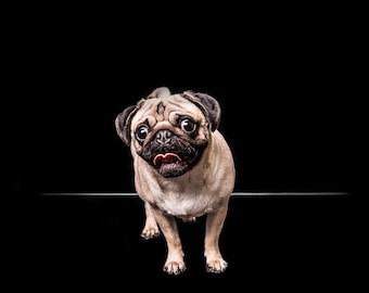 Fawn Pug on black background