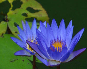 10Pcs Hydrophyte LOTUS Seeds Water Lily Seeds Bonsai Seeds Set - Chose Color ( Blue - Purple - Red - Pink - Mixed)
