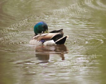 Beautiful printed picture of a mallard duck. Perfect gift for her or him. To frame it for you. DIY
