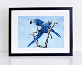 Spix Macaws.Hope. Signed limited edition (100) 325gm fine art print by Griff