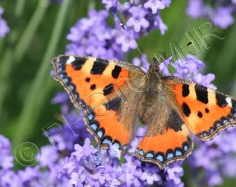 Double photo - Butterfly in Lavender